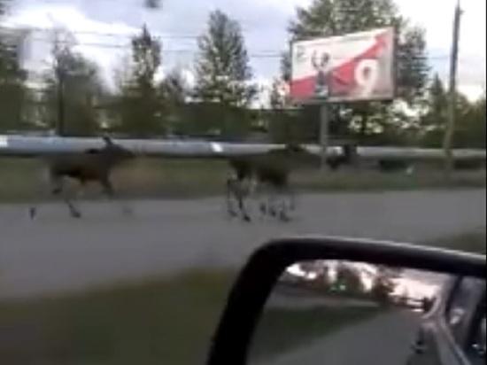 В Ярославле лосиное стадо гуляло по городским улицам