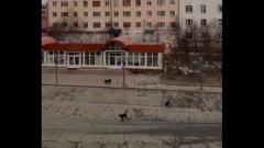 Бродячие собаки устроили звуковую атаку на жителей Магадана