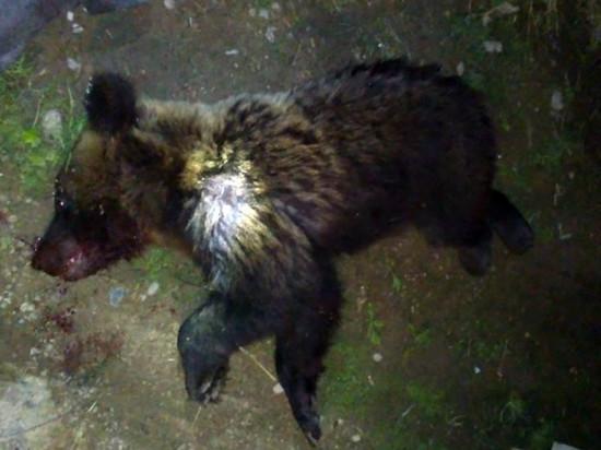 В Ярославле застрелили медведя напавшего на мужчину