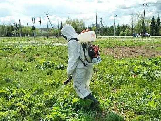 В Чехове начали избавляться от опасного растения