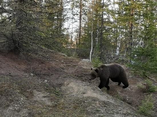 В Коми не удивились нашествию медведей: «Мы их подкармливаем»