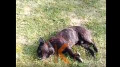 Жители Кубани сообщили, что темрюкский депутат застрелил их двух собак