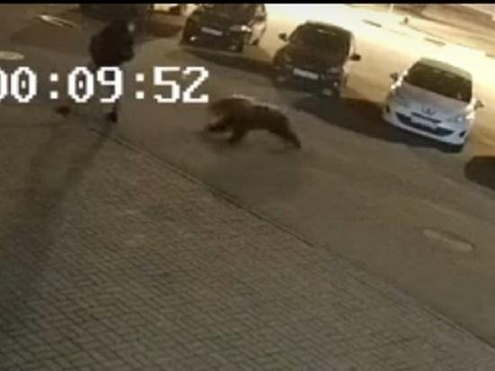 Медведь, напавший в Ярославле на пешехода, мог быть беглецом из вольера