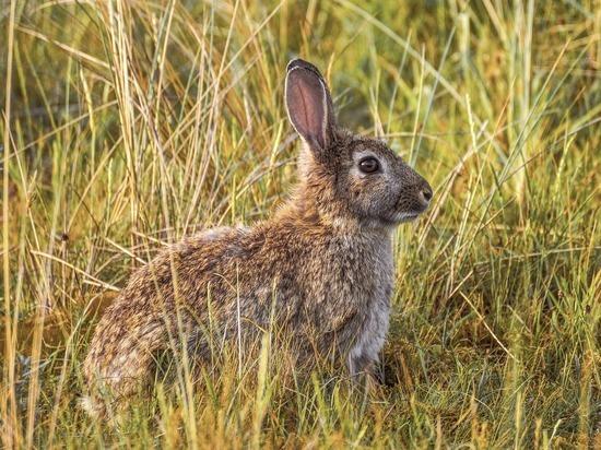 Экологи объяснили, с чем связано возвращение зайцев-русаков в Подмосковье
