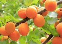 Волгоградцам рассказали о золотых правилах ухода за абрикосовым деревом