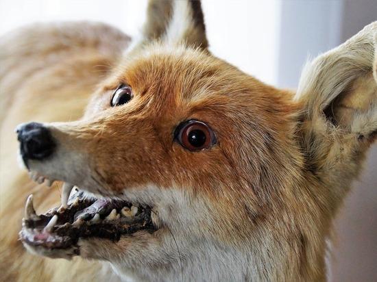 Украденное в Марий Эл чучело лисы было продано за 300 рублей