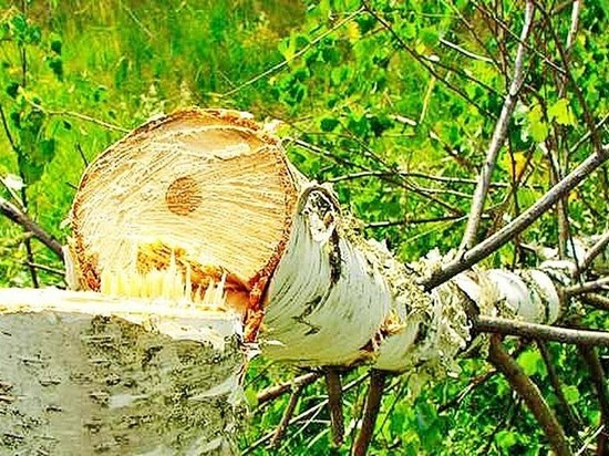 Березу заломати: в Ивановской области под суд пойдут лесные вандалы