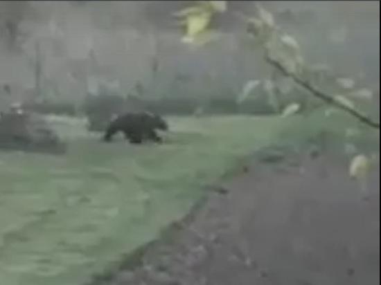 В Ярославской области по следам медведя потоптавшего огороды отправили охотоведов