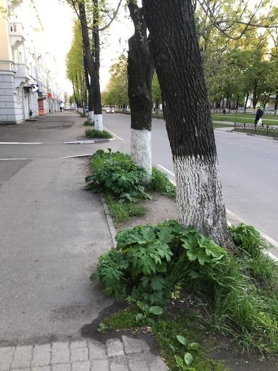 Ярославские улицы атакует борщевик.