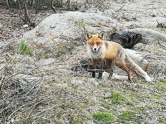 Житель Карелии снял видео, на котором кормит лису