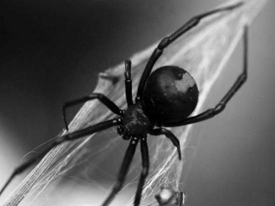 В Целинном районе Калмыкии появились пауки-каракурты