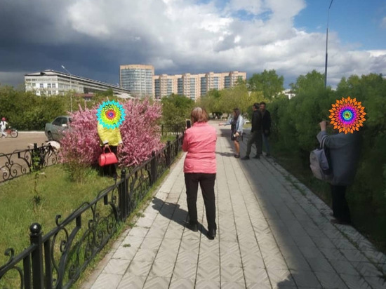 В Улан-Удэ распустившуюся сакуру разбирают на ветки