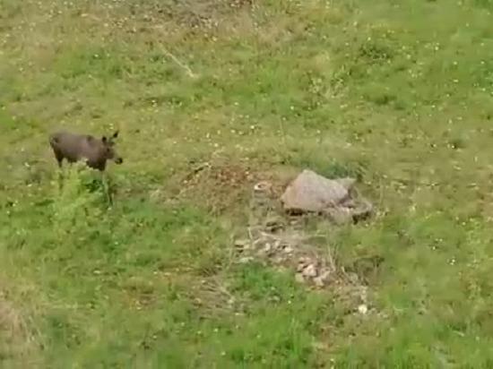 Жители Радужного сняли на видео лося
