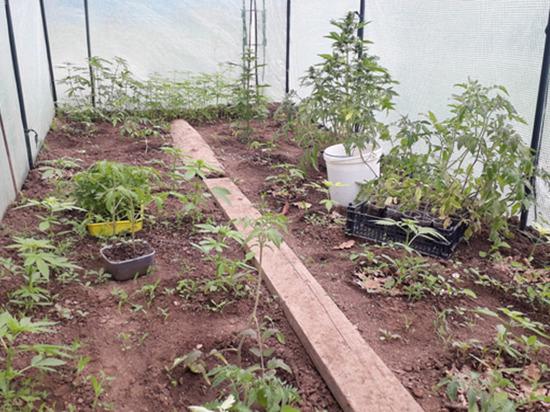 У жителя Оренбурга нашли плантацию конопли