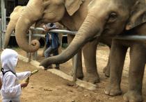 Слонам Таиланда угрожает голодная смерть