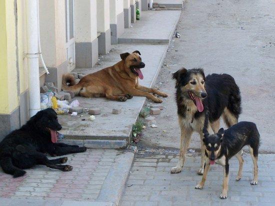 Жители одного из районов Иванова жалуются на разгуливающих по улицам бродячих псов