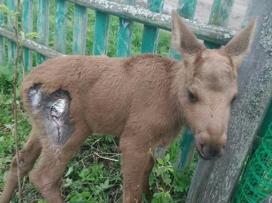 В Тверской области собаки отбили лосенка у матери