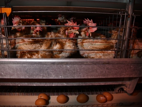 Волгоградская область выходит на 100-процентное самообеспечение яйцом
