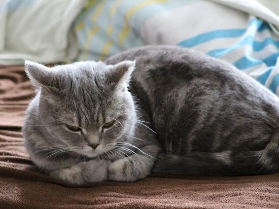 Вирусолог объяснил случай с заболевшей COVID-19 московской кошкой