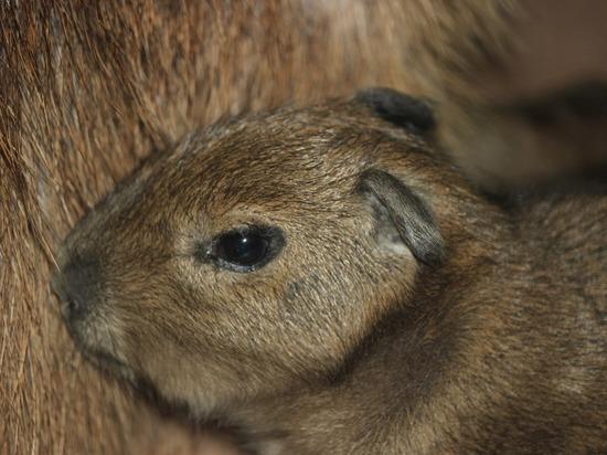 Южноамериканский грызун появился в нижегородском зоопарке «Лимпопо»