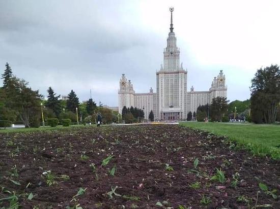 Выяснилось, кто выкопал все тюльпаны возле МГУ