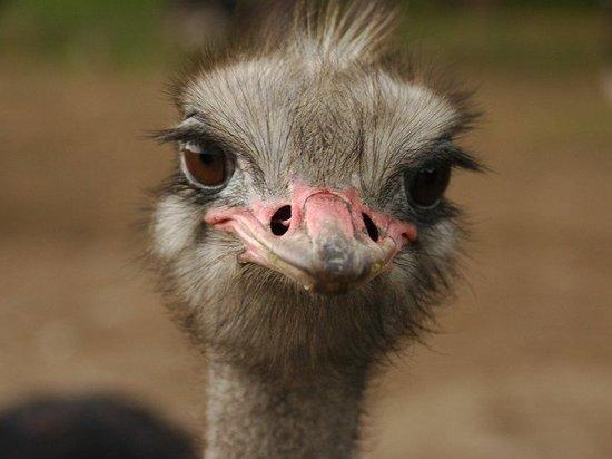 В казанском зоопарке страусов выпустили в саванну