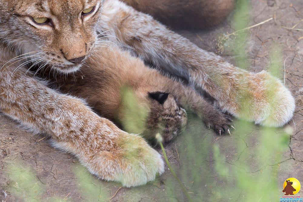 Пушистая милота: в барнаульском зоопарке родились маленькие рысята