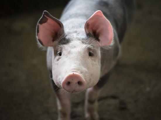 Китай потребовал у госкомпаний остановить закупку свинины и сои у США