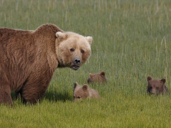 Семья медведей попала под поезд в пригороде Хабаровска