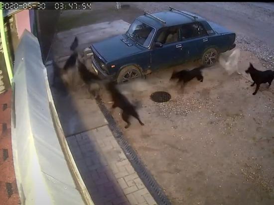 Утром 30 мая в Пролетарском районе Твери стая бездомных собак разорвала кота