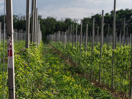 Персиковый сад заложили на Ставрополье