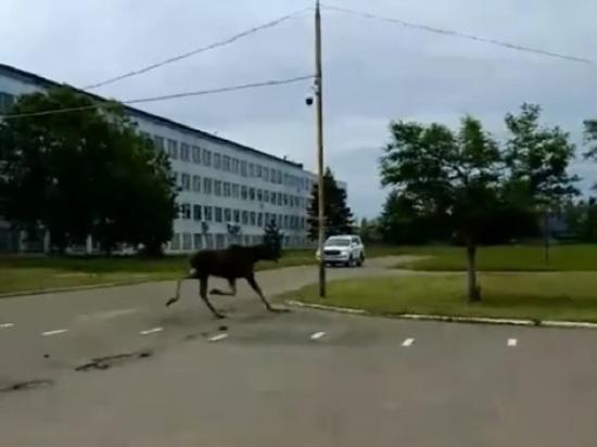 В Ярославской области лоси идут в населенные пункты, бегают днем по Ярославлю и Рыбинску