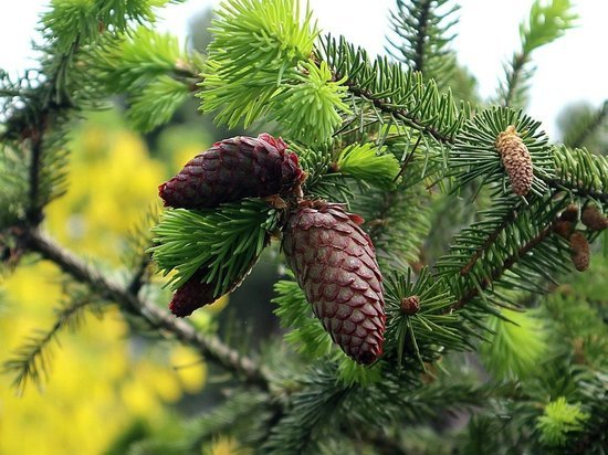 Ель из Карелии оказалась в финале конкурса «Российское дерево года»