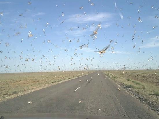 В Калмыкии принимаются экстренные меры по борьбе с саранчой