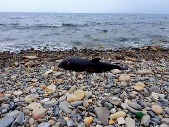 На Черноморском побережье Кубани из-за разлива нефти гибнут дельфины