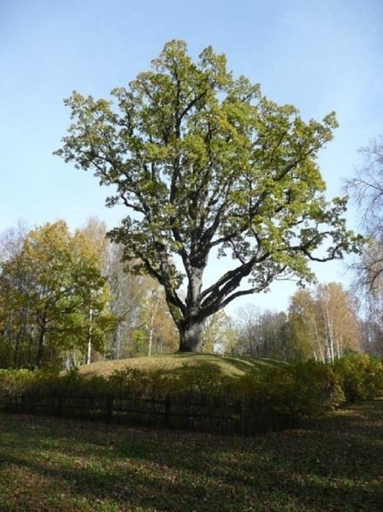 200-летний псковский дуб претендует на звание «Российское дерево года»