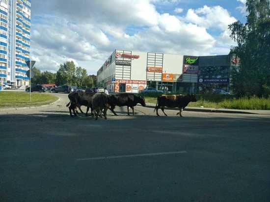 Природа очистилась: у новосибирского ТЦ заметили стадо коров