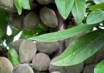 Ставрополье начнет экспортировать собственный миндаль