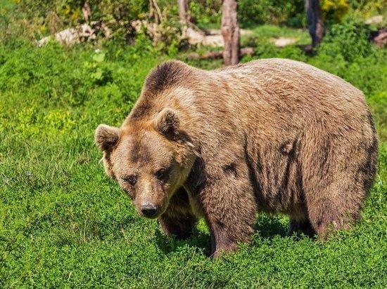 О медведе в лесу у Елеазаровского монастыря предупреждают псковичей