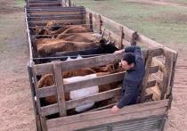 Булат Лхасаранов: «Бурятские аборигенные коровы стали Клондайком для мошенников»