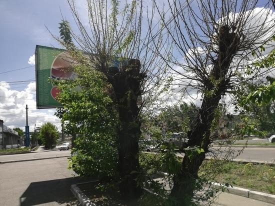 Билборды фирмы Конопасевича стоят возле просверленных тополей в Чите