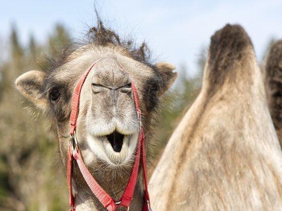 Жители Новомосковска переживают за верблюда, который живет с козой