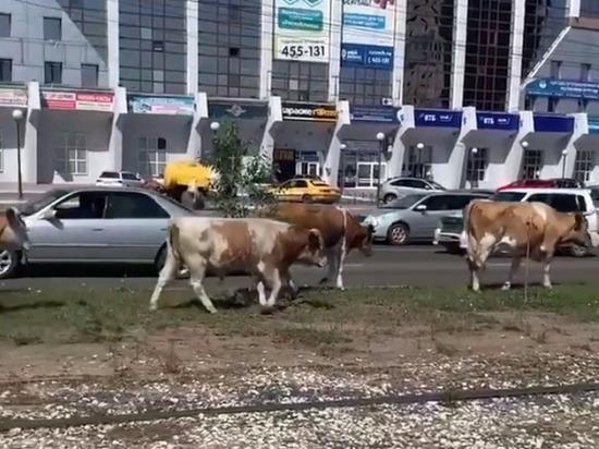 В центре Улан-Удэ коровы спровоцировали ДТП