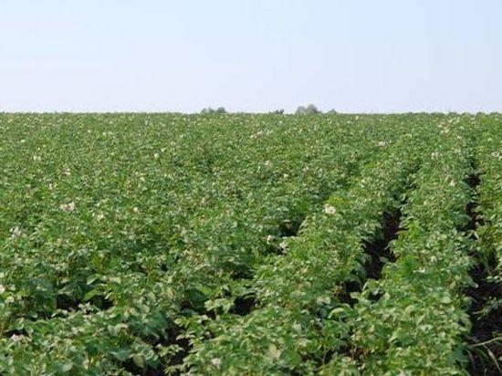 Приусадебные участки Чувашии атаковал опасный картофельный вредитель