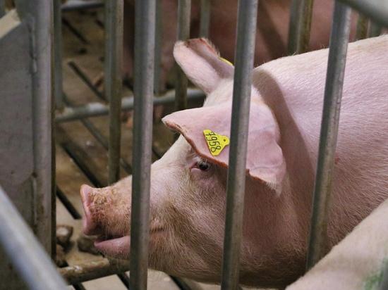 Новейший свинокомплекс построили в Тихорецком районе