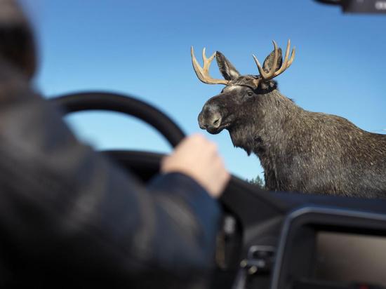 МЧС предупреждает псковичей о диких животных на дорогах
