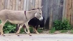 Калужане сняли на видео, гуляющего по городу осла