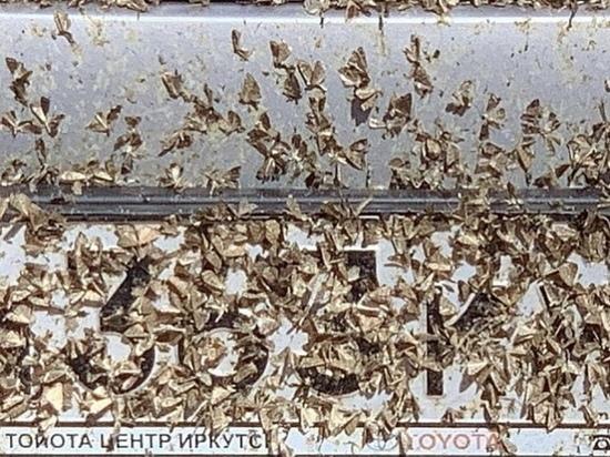 В Бурятии официально предупредили о массовом лете бабочек лугового мотылька