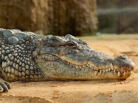 Опубликовано видео, как из крокодила достают проглоченную им женщину