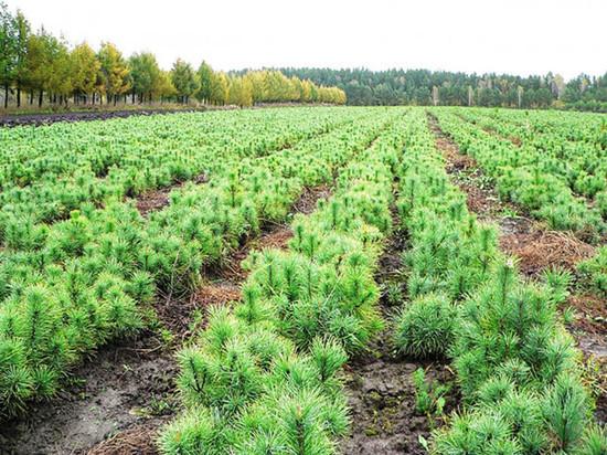 Сколько вырубил — столько и засади: площадь лесопосадок в Костромской области приближается к 97% от площади вырубок